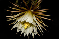 Selenicereus grandiflorus (betadecay2000) Tags: white flower green fleur germany deutschland nacht pflanze pflanzen blumen pollen blume blte bloem kaktus kakteen weise knigin botanik blhen regenwald weis tropen selenicereusgrandiflorus tropische selenicereus epiphyt kaktusse staubbeutel geblht kinigindernacht grandiflorusgrn