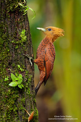 Chestnut-colored Woodpecker, Costa Rica (www.NeotropicPhotoTours.com) Tags: pictures portrait cute green expedition nature birds animal forest canon landscape outdoors landscapes waterfall toucan ecuador rainforest costarica photographer tour hummingbird photos unique wildlife small stock fulllength large gear amphibian nobody aves frog workshop tropical getty endangered cloudforest multicolored sideview biology mammals endemic birdwatching treefrog reptiles centralamerica poisonous protected biodiversity wildanimals rm multiflash distinctive animalsinthewild tropicalbirds frontalview birdphotography tropicaldryforest colibris rightsmanaged portraitmode colibries leaffrog chestnutcoloredwoodpecker celeuscastaneus juancarlosvindas neotropicbirds neotropicwildlife