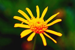 Flame  in  flower (Rajavelu1) Tags: plant flower art yellow garden creative ooty artland macrophotograph canon60d