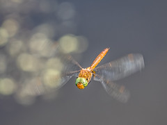 P6190173 (Rebecca_Wilton) Tags: summer netherlands insect europe dragonfly wildlife nederland olympus em1 2016 oostvaarderplassen zuikodigital50200mm dragonflyinflight