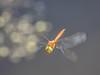 P6190173 (Rebecca_Wilton) Tags: summer netherlands insect europe dragonfly wildlife nederland olympus em1 2016 oostvaarderplassen zuikodigital50200mm dragonflyinflight