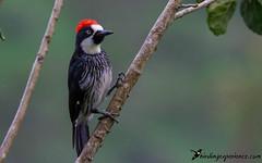 Acorn Woodpecker (birdingexperience) Tags: bird nature photography woodpecker costarica wildlife birding wildlifephotography birdingexperience