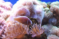 Saltwaterlife Tropical Animals Tropical Fish Fish Sea Anemone Aquarium Aquatic Single Animal Focus On Foreground (Shannon F Gorman) Tags: saltwaterlife tropical animals tropicalfish fish seaanemone aquarium aquatic singleanimal focusonforeground