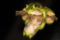 IMG_9312 (2) (Roving_photographer) Tags: newzealand green frog northland kerikeri aurea introduced litoria