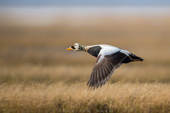 Uncommonly common (Khurram Khan...) Tags: spectacledeider eider ducks bering alaska tundra barrow wildlife wildlifephotography birdphotography birds khurramkhan wwwkhurramkhanphotocom ilovenature iamnikon