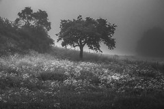 * (sedregh (on/off)) Tags: bw mist tree fog sunrise landscape mono nebel eifel sw landschaft sonnenaufgang baum