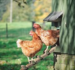 eggs organic grading ams freerange gradea cagefree pastureraised gradeshield gradestandards raisedwithoutantibiotics