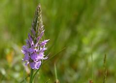 Moorland spotted orchid - Gevlekte orchis (joeke pieters) Tags: 1270586 panasonicdmcfz150 gevlekteorchis moorlandspottedorchis bloem flower wildflower boelekeerlspad heidenhoeksevloed achterhoek gelderland nederland netherlands holland bokeh platinumheartaward ngc npc