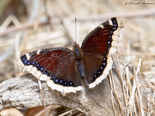 "Mourning Cloak • <a style=""font-size:0.8em;"" href=""http://www.flickr.com/photos/59465790@N04/27886241110/"" target=""_blank"">View on Flickr</a>"