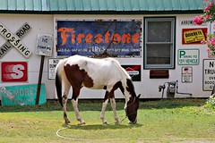 27/116 Horse by the side of the road (Bella Lisa) Tags: horse firestone grazing pinto cumming 116picturesin2016