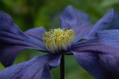 Clematis (nigelphillips) Tags: blue summer flower macro closeup exposure