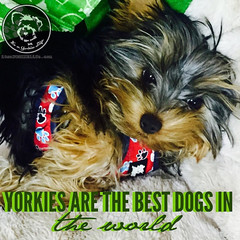 No question about it! (itsayorkielife) Tags: yorkiememe yorkie yorkshireterrier quote