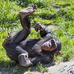 Funny young chimp rolling (Tambako the Jaguar) Tags: grass rolling young funny fun playing stone chimp chimpanzee ape monkey primate cute walter zoo gossau stgallen switzerland nikon d5