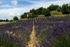 Provence - Champs de Lavande (Photogenic31.) Tags: france provence cotedazur riviera nikon d2xs d7000 d2x 7000 photogenic31 photographetoulouse christianraynaud