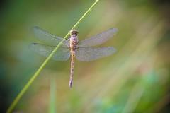 sympetrum striolatum (pierre-david) Tags: macro insecte ete libellule matin