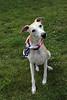 Ready to Celebrate (DiamondBonz) Tags: blue red dog pet white flag hound whippet spanky