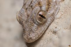 Gecko (Rinaldo R) Tags: portrait macro eye closeup garden reptile stack handheld gecko canonmpe geko tarentola mpe rettile tarentolamauritanica 30shots gecocomune geconidi tarantolamuraiola