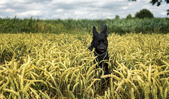 Ida in the wheat field #1 (Schneggart) Tags: summer dog field clouds jumping wheat bouncing weizenfeld