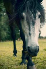 Floro (feldweg) Tags: horse cheval pre spanier pferd stallion hest kon hengst hven guthven