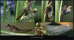 USA_56510 (Weinstckle) Tags: blaugrnemosaikjungfer libelle metamorphose verwandlung schlpfen insekt