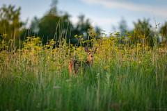 Whitetail deer fawn II (michaelraleigh) Tags: green field minnesota canon outdoors bokeh blurred deer fawn serene secluded infocus 200mm highquality albertlea f28l myrebigisland