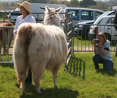 North Somerset Show 2013 Having my photo taken! (chrisw09) Tags: wool hat pose kneel shadows legs coat tail rear llama sunny bum photograph shaggy bankholiday crouch oblivious concentrating northsomersetshow2013 musthavebeenhot