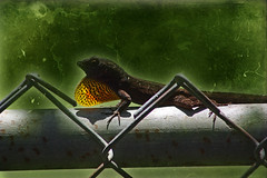 Anole on the Fence (hollykl) Tags: photomanipulation fence digitalart lizard anole hypothetical dewlap cubanbrownanole arteffects shockofthenew awardtree vanagram exoticimage