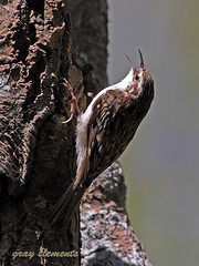 treecreeper (gray clements) Tags: tree nature birds canon bill wings toes singing wildlife tail beak insects hidden devon exeter usm calling certhiafamiliaris westcountry treecreeper rspb passeriformes lserieslenses britishbirds passeriforme devonwildlife exeterdevon ukbirds canon300mmf28lisusm grayclements wildlifeindevon canon14mk111tc