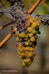 Left over, shrivelled grapes in the vinyard at Groot Contantia