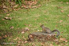 Squirrel at Groot Constantia