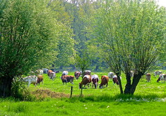 Red ladies in the meadow . (Fijgje [ Everything works so slowly ]) Tags: grass cattle cows willow gras vee thorn koeien wilg pinksterbloem knotwilg pollardwillow fijgje panasonicdmctz30 opdefietsboodschappendoen mei2013