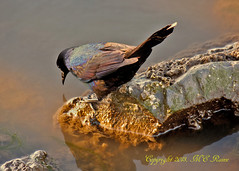 Grackle (Common Var.) During Sunset at Mill Creek Marsh in Secaucus NJ (Meadowlands) (takegoro) Tags: creek grackle golden marsh magic nature wildlife sunset meadowlands mill nj hour birds secaucus