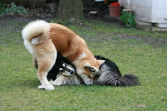 funny game (Samurai-Akita) Tags: wild dog playing game dogs japan fun japanese crazy funny play finnish akita spiel lappi spielen inu finnischer suomenlapinkoira lapphund lapinkoira