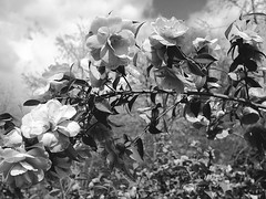 Camellias at Nymans Garden (pp agrippa) Tags: blackandwhite flora 20mm camellias pancakelens nymansgarden gardensofengland dmcgf1
