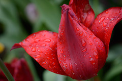 Wet Red 68570 (tombomba2) Tags: flowers red plants macro rot colors nikon tulips blossom pflanzen blumen cameras micro bloom fullresolution nikkor makro f28 vr farben lenses tulpen d800 blten 105mm blhen kameras objektive 10528g