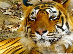 "Tigre en Ranthambore • <a style=""font-size:0.8em;"" href=""http://www.flickr.com/photos/92957341@N07/8750491106/"" target=""_blank"">View on Flickr</a>"
