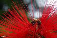(...Gil.Photo) Tags: flowers flores flower macro nature colors rose closeup brasil fleurs garden flora natureza flor rosa