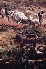 Watering the Cattle, Northern Kenya 1980 Image0123 (Hart Walter) Tags: tourism coffee cattle rice tea goats sunflower sisal camels samburu maasai sugarcane deforestation desertification tef gabra africancities africanvillages africanlanduse baobabdestruction africaspeople peopleofeasternafrica pymies
