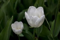 White Tulips - Copenhagen, Denmark (virtualwayfarer) Tags: park travel flowers summer flower nature water closeup contrast copenhagen garden denmark spring europe downtown tulips natural exploring tulip bloom raindrops cph scandinavia wildflower botanicalgarden blooming travelogue traveler kobenhavn centralcopenhagen whitetulip universityofcopenhagen alexberger virtualwayfarer