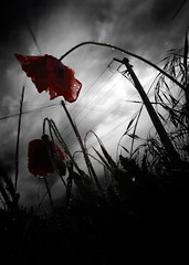 Fallow (Photambule) Tags: light red blackandwhite flower fleur darkness noiretblanc lumire sony poppy alpha fallow obscurit coquelicot wasteland colorisation friche bichromie fricheindustrielle