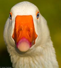 (Artem Vasilenko) Tags: blue white nature canon eos is duck eyes 300mm 7d l f4