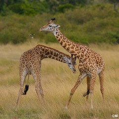 just kidding... (muddii) Tags: africa wildlife afrika giraffe maramasai