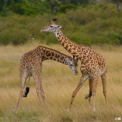 just kidding... (muddii) Tags: africa wildlife afrika giraffe maramasai