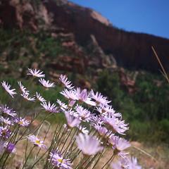 Wild Flowers (elevatoro) Tags: park trip travel family camping red flower rock creek landscape utah canyon hike national backpacking backpack zion navajo gerber kolob laverkincreek leibow elevatoro