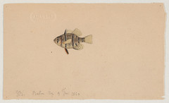 Cichlid (Boston, Mass., 9 February 1860) (The Ernst Mayr Library) Tags: fish cichlid cichlidae perciformes taxonomy:order=perciformes jacquesburkhardt taxonomy:family=cichlidae scientificdrawings taxonomy:common=cichlid