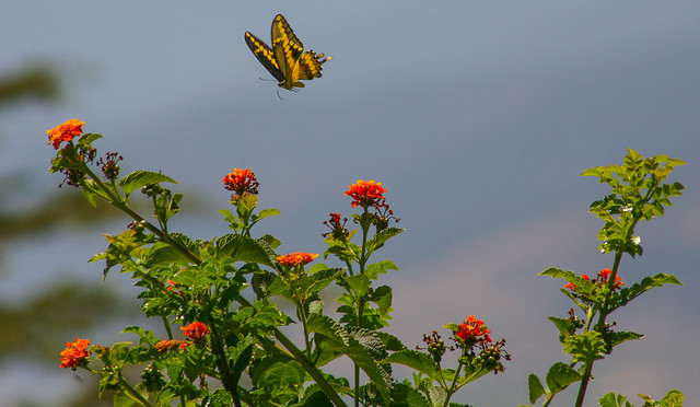 Butterfly_at_Geek_Hill_2013-5