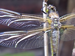 Wings (lady.bracknell) Tags: macro nature insect wings dragonfly meresands