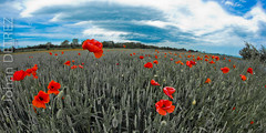 Poppy (JohanDETREZ) Tags: flower nature field rouge fantastic corn poppy t champ coquelicot papaver pavot rhoeas cornpoppy bles fantasticflower