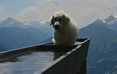 Mogli auf der Alp (balu51) Tags: summer dog mountains water juni switzerland wasser view hiking sommer brunnen berge hund aussicht alp flims kuvasz wanderung trin graubünden 2013 surselva hirtenhund