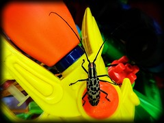 A Bug's Life (lostsoulx80x) Tags: travel red black nature yellow bug insect southeastasia beetle vietnam spots hu canon450d earthasia phongnhacaves phongnhakebangnationalpark